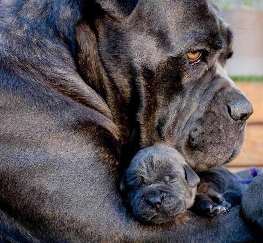 Cane Corso Italian Mastiff with puppy