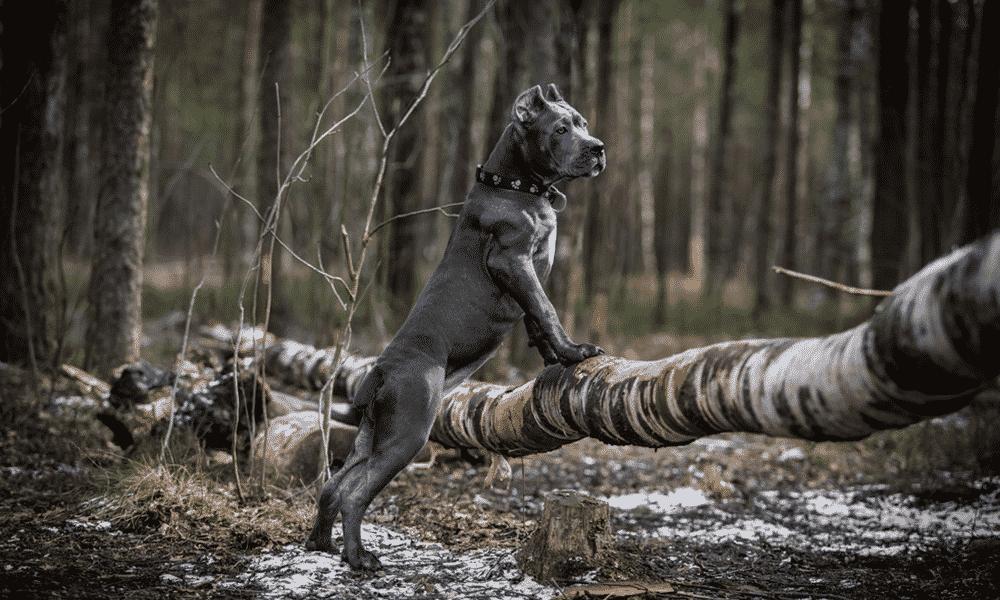 Cane corso dog breed adult dog