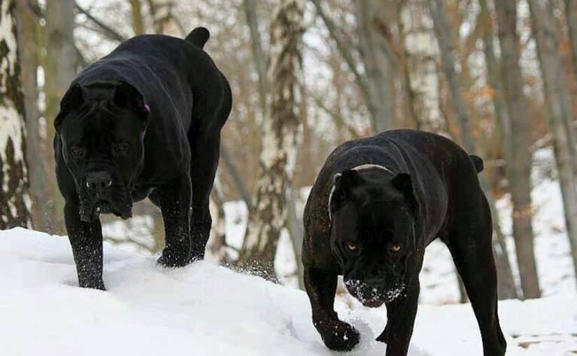 Cane corsos pair