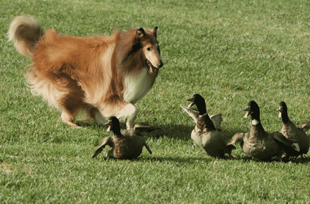 Collie dog breed information