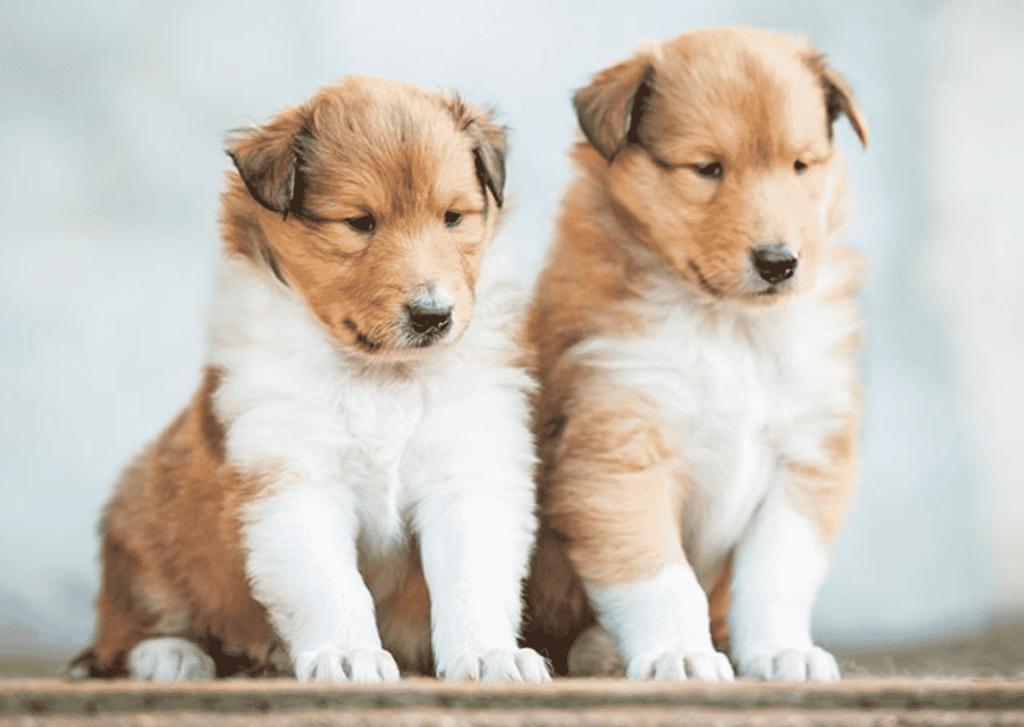 Collie puppies