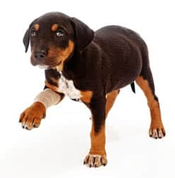 Lameness of the front paws in dogs