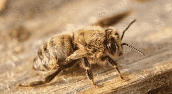 Varroa Mite Attacking Honey Bee online veterinary pharmacy