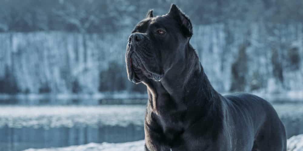 cane-corso-dog