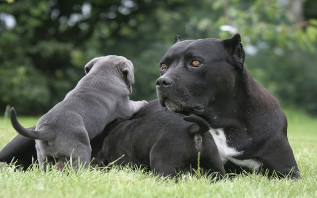 cane corso with puppy