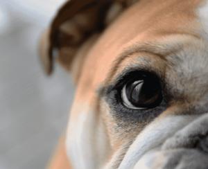 eye hygiene in dogs
