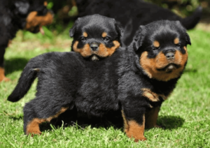 rottweiler dog puppies