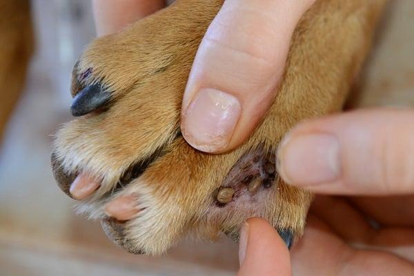 tick in dog